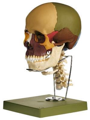 QS 8/3C - Model lebky s krčnou chrbticou a jazylkou - 14 častí
