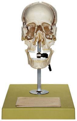 QS 9 - Umelá lebka dospelého človeka