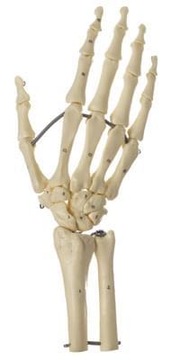 QS 31/7 - Kostra ruky s částí předloktí (spojeno dráty)