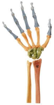 QS 31/4 - Kostra pravej ruky (pohyblivá v kĺboch, farebne vyznačená)