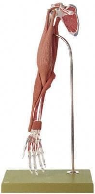 QS 55/3 - Model svalů paže
