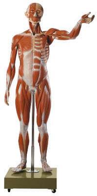 AS 2/2 - Postava muža - svaly