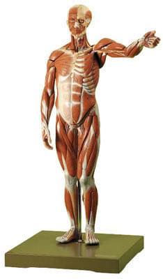AS 1 - Postava muža - svaly