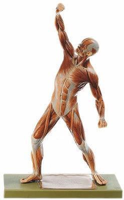 AS3 Postava muža - svaly