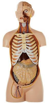 AS 23/1 - Mužský trup, s hlavou a otvoreným chrbtom