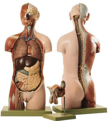 AS 23/2 - Ľudský trup, s hlavou a otvoreným chrbtom