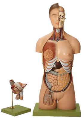 AS 4 - Ľudský trup, s hlavou a vymeniteľnými mužskými a ženskými pohlavnými orgánmi