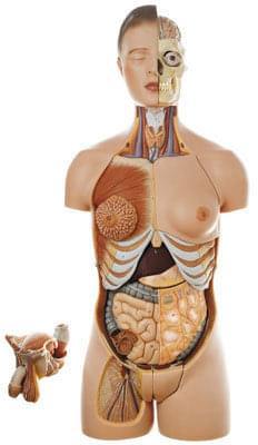 AS 4/1 - Ľudský trup, s hlavou a vymeniteľnými mužskými a ženskými pohlavnými orgánmi