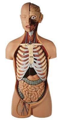 AS 21 - Mužský trup, s hlavou