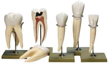ES 11 - 5 modelov zubov
