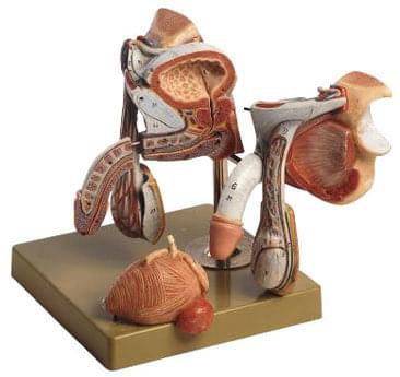 MS 3 - Mužské pohlavné orgány
