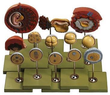 MS 46 - Vývoj človeka - embryo na konci prvého mesiaca