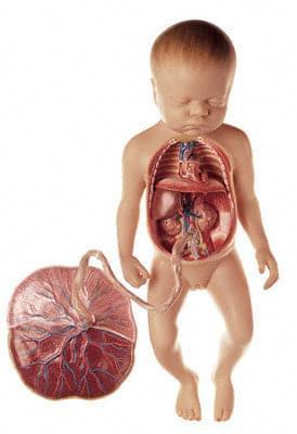 MS 16 - Obehový systém plodu