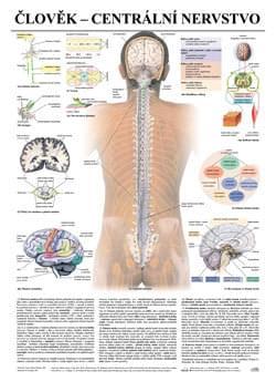 Človek - centrálna nervová sústava