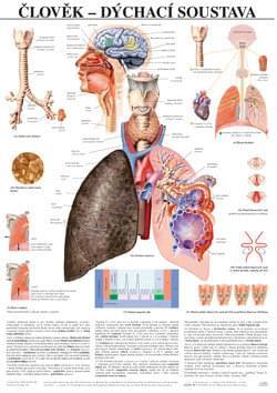 Človek - dýchací systém