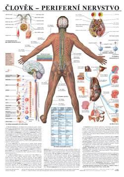 Človek - periférna nervová sústava