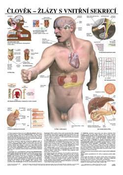 Človek -žlázy s vnútornou sekréciou