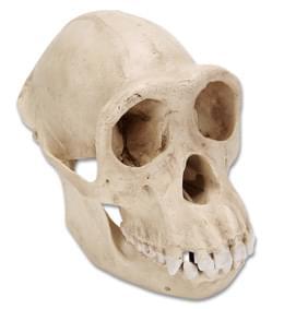 Lebka šimpanze učenlivého (Pantroglodytes), samice