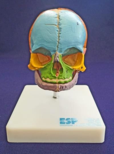 Výuková lebka plodu na stojane