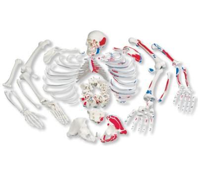 A05 / 2 - Úplná kostra, rozložená, znázorňujúca svaly, s trojdielnou lebkou