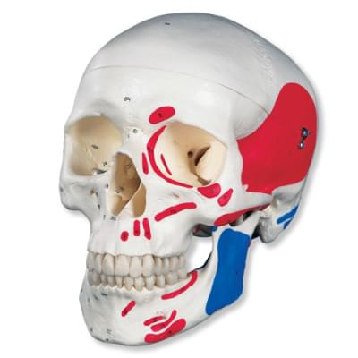 A23 - Klasická lebka, maľovaná, 3 časti