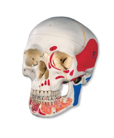 A22 / 1 - Klasická lebka s otvorenou dolnou čeľusťou, maľovaná, 3 časti