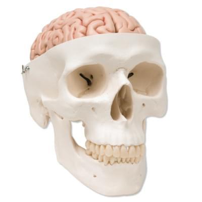 A20 / 9 - Klasická lebka s mozgom, 8 častí