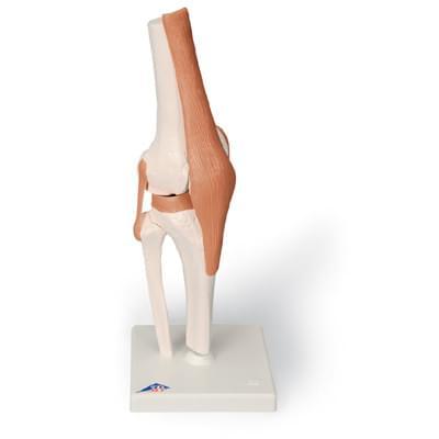 A82 - Funkčný model kolenného kĺbu