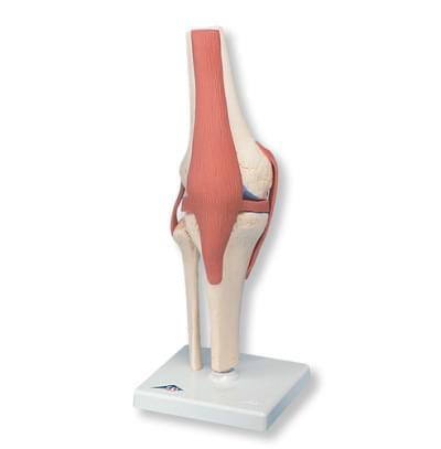 A82 / 1 - Funkčný model kolenného kĺbu deluxe