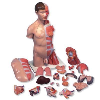 B42 - Deluxe torzo, dvojaké pohlavie, ruka so svalmi, 33 častí
