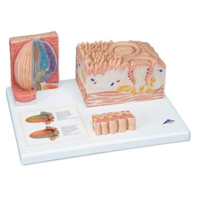 """D17 - """"3B MICROanatomy"""" jazyk"""