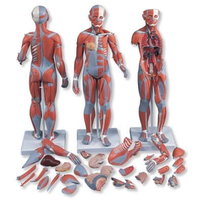 B55 - Kompletná postava so svalmi a vnútornými orgánmi, dvojaké pohlavie, 33 častí