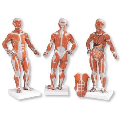 B59 - Postava so svalmi, 1/3 životnej veľkosti, 2 časti