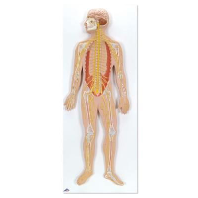 C30 - Nervový systém, 1/2 životnej veľkosti