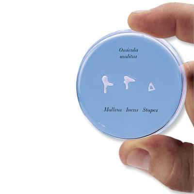 E13 - Sluchové kostičky v životnej veľkosti