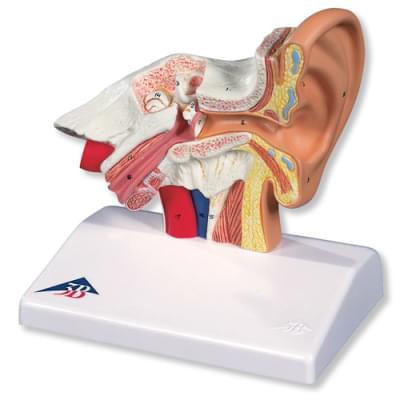 E12 - Stolný model ucha, 1,5 krát zväčšený