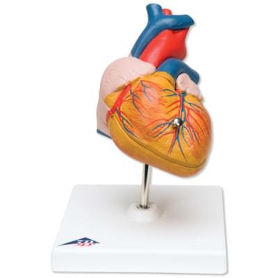 G08 - Klasický model srdca, 2 časti