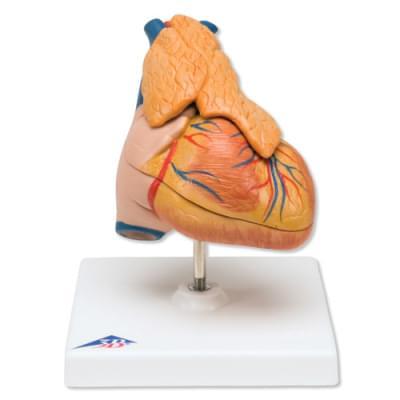 G08 / 1 - Klasický model srdca s týmusom, 3 časti