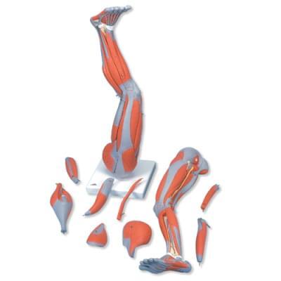 M20 - Model dolnej končatiny so svalmi, 9 častí