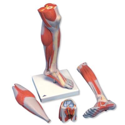 M22 - Model predkolenia a kolená so svalmi, 3 časti
