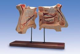W42506 - Model nosních a čichových orgánů, 4 krát zvětšené