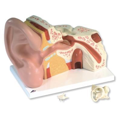 VJ513 - Veľký model ucha, 5 krát zväčšený, 3 časti
