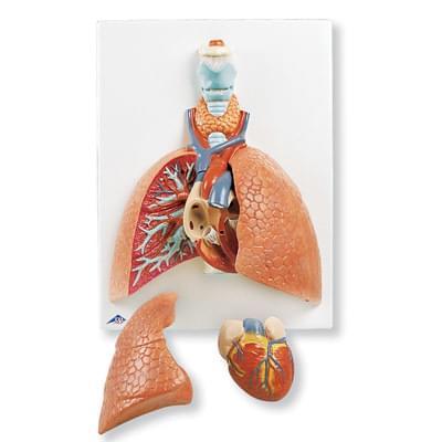 VC243 - Model pľúc s hrtanom, 5 častí