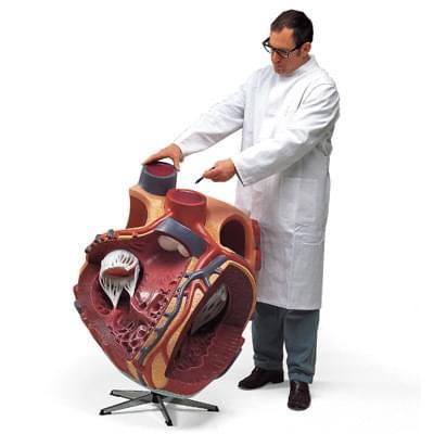 VD250 - Obrí model srdca, 8 krát zväčšený