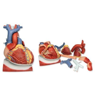 VD251 - Model srdca na bránici, 3 krát zväčšený, 10 častí