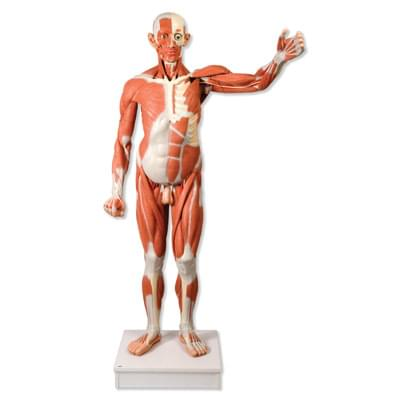 VA01 - Mužská postava so svalmi v životnej veľkosti, 37 častí