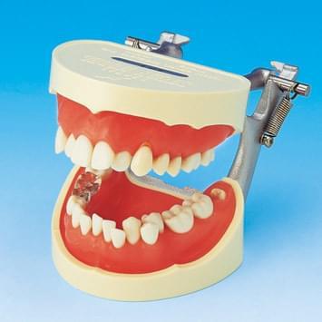 Model k demonštrácii správneho čistenia zubov PE-STP001