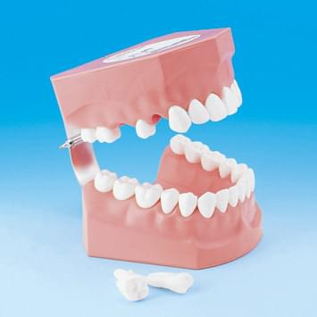 Model k demonštrácii správneho čistenia zubov PE-STP002