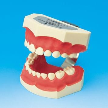 Model k demonštrácii správneho čistenia zubov PE-STP003