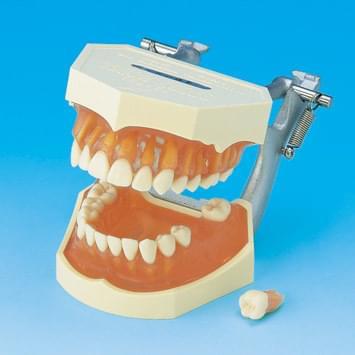 Model s odnímateľnými zubami (ďasno z transparentného ružového silikónu)